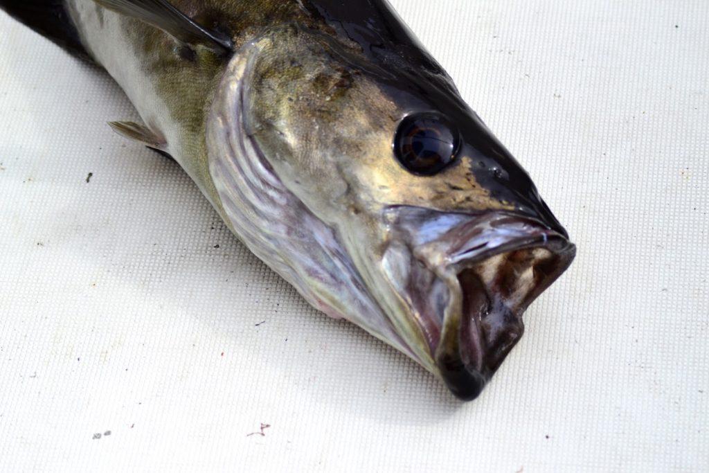Pollack Fischmaul