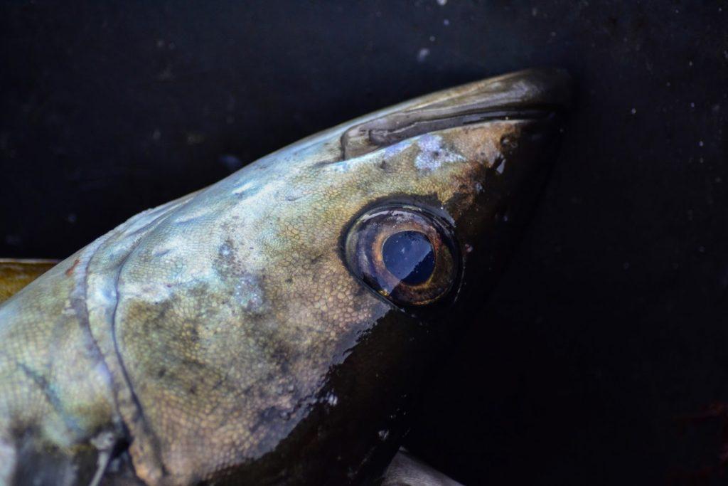Pollack Auge und Fischmaul