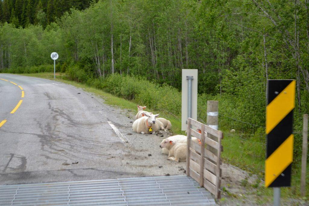 Norwegen Schaf Straße Ferist
