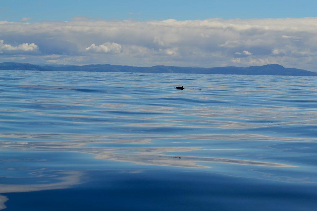 Schweinswal Finne
